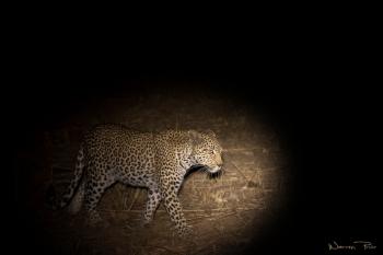 A leopard at night