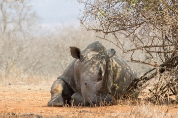 A rhino resting in the heat of the day