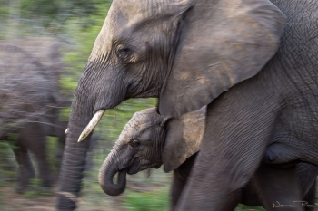 I tried to capture the motion of this elephant calf and her mother as they moved through the bush. Despite their impressive size it's amazing how quickly and silently these creatures can move.