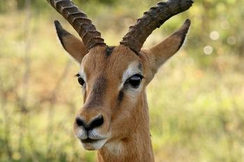 Wounded impala