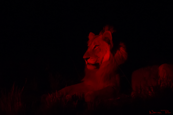 A young male lion in the glow of a spotlight