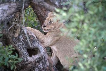A lion cub climbing a tree