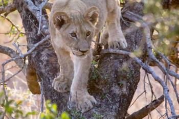 A young lion cub climbing down a tree
