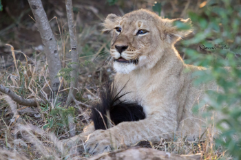 A lion cub proudly looking after a wildebeest tail