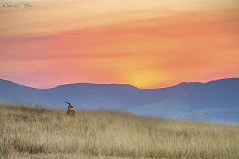 Impala Sunset - Testing new processing methods