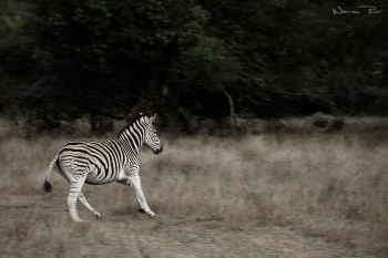 This photo of a zebra was taken on foot at a small private reserve in Kzn. I used a slightly longer exposure to try and capture the motion of these animals in flight.