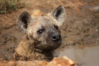 A hyena cooling off in a puddle
