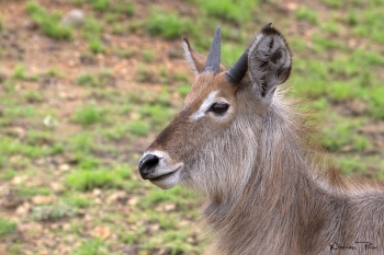 A young waterbuck