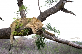 This photo of a lioness was taken at iMfolozi, one of the few parks where lions climb trees