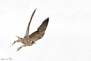 Lanner falcon take off