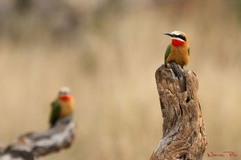 A pair of white-fronted bee-eaters at iMfolozi