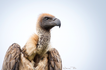 A portrait of a white-backed vulture taken at the iMfolozi game reserve in KwaZulu-Natal