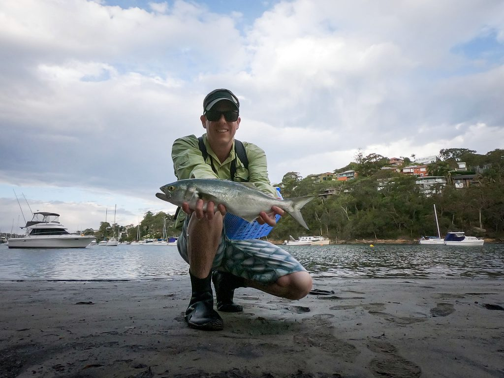 A tailor I caught on fly in Sydney Harbour
