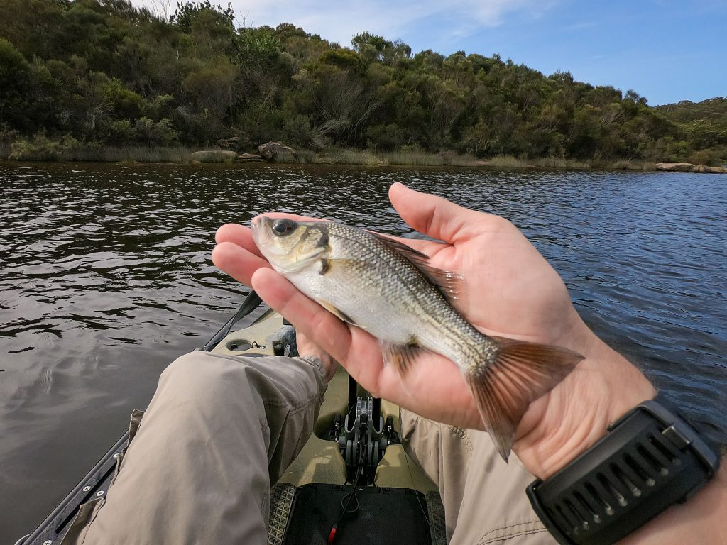 A small Aussie bass caught at Manly Dam