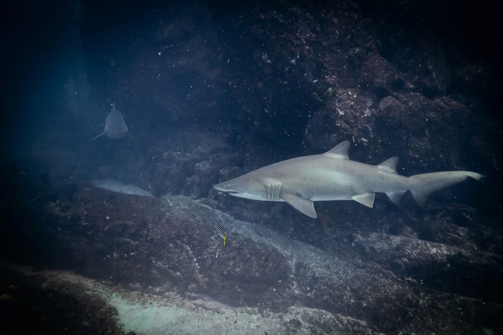 A ragged-tooth shark at Broughton Island