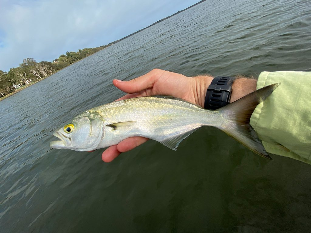 A small tailor caught on lure off the kayak