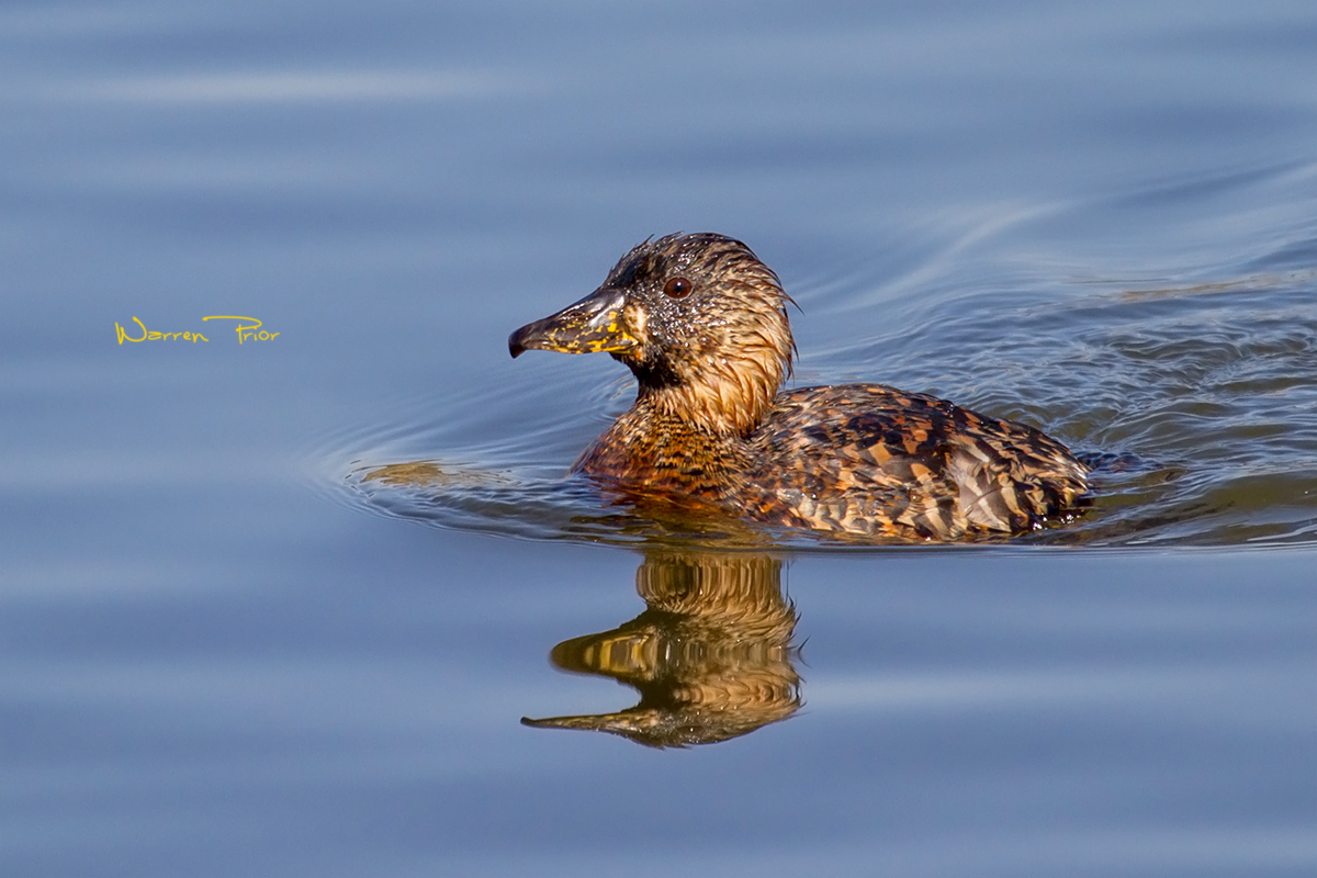 A white-backed duck at Tala