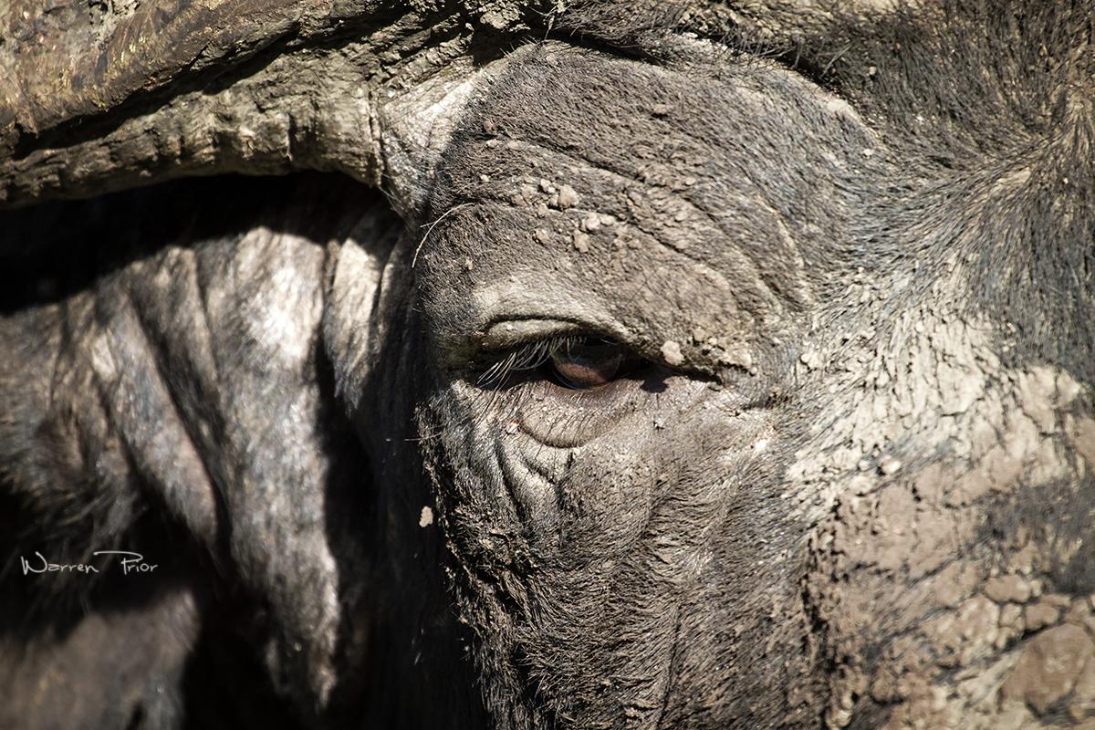 Windows to the soul of a Cape buffalo