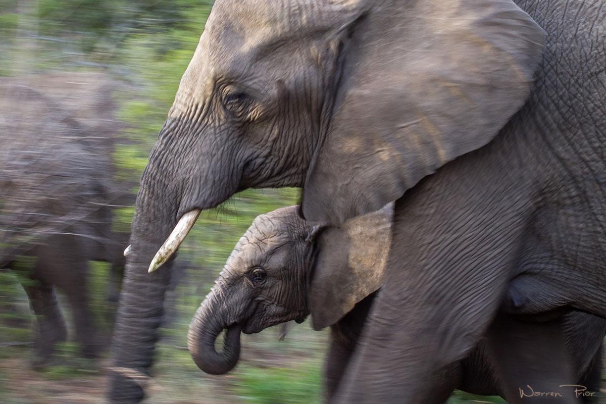 An elephant calf on the move