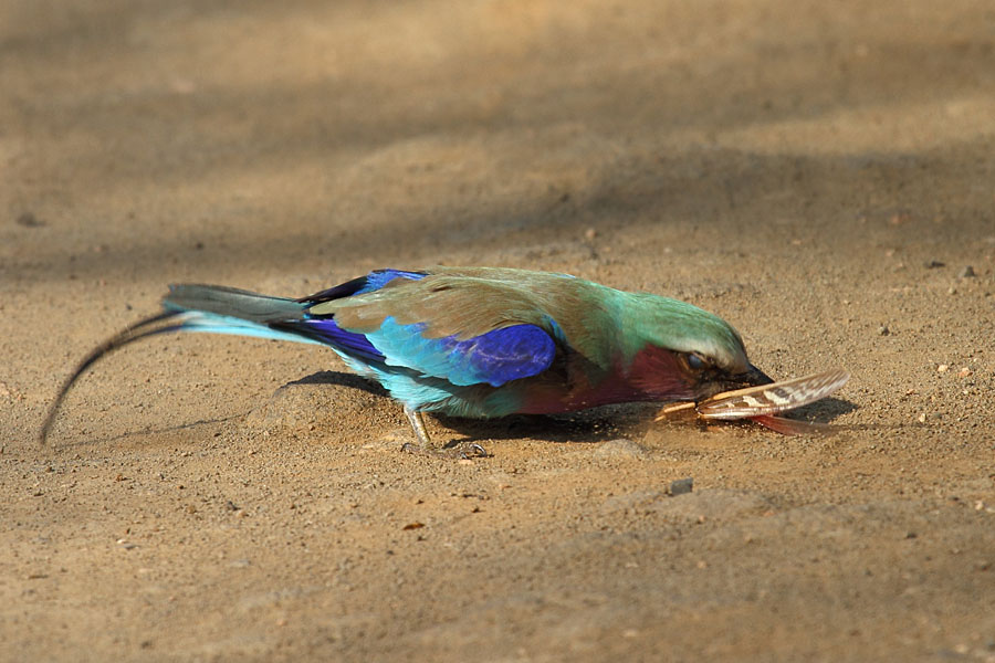 Lilac-breasted roller killing a grasshopper