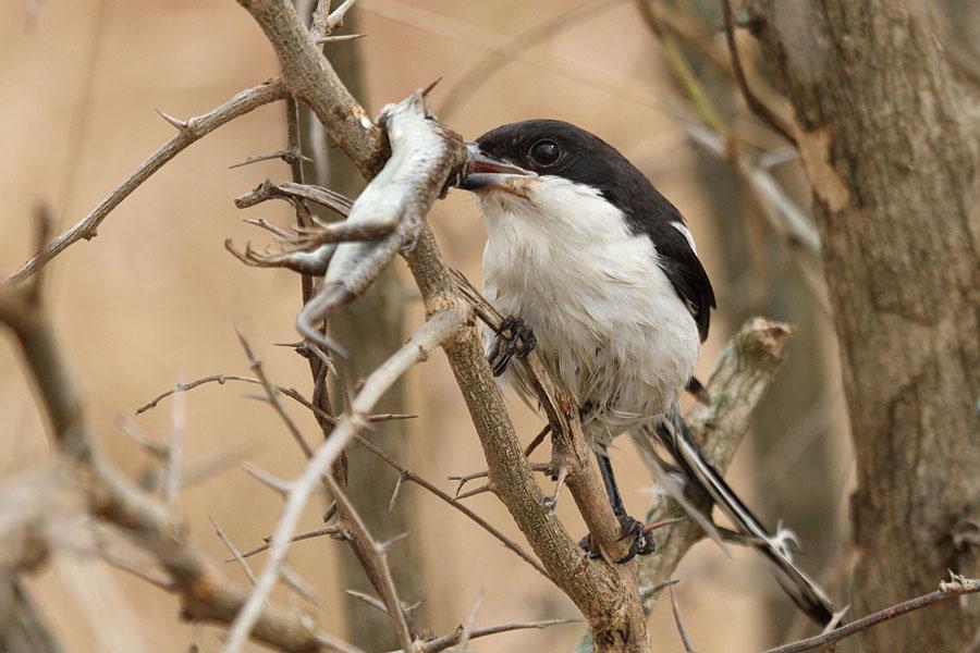 A fiscal shrike enjoying a lizzard