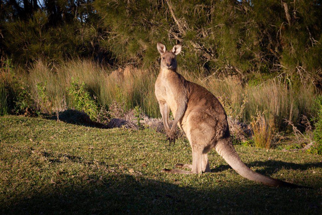 Katie's scary kangaroo