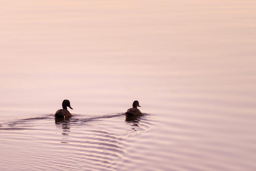 Evening ducks at Koala Shores