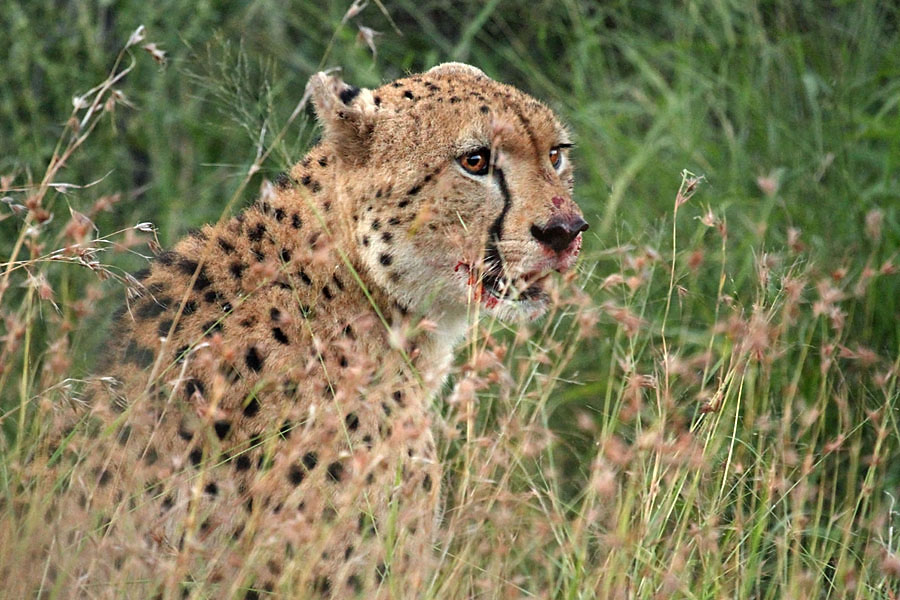 Cheetah on a kill in Mkhuze